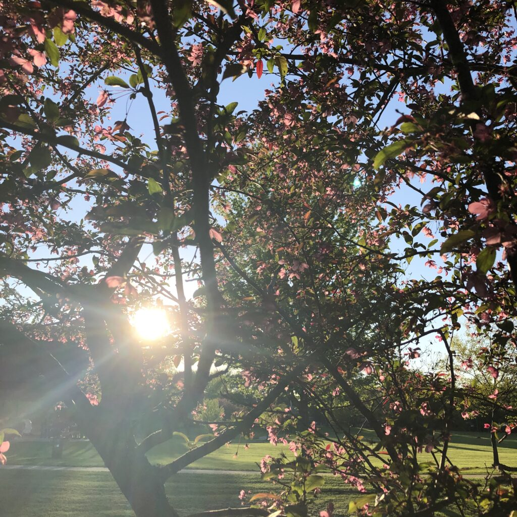 Filtered sunlight through red bud tree blooms- Photo by Melynda Van Zee