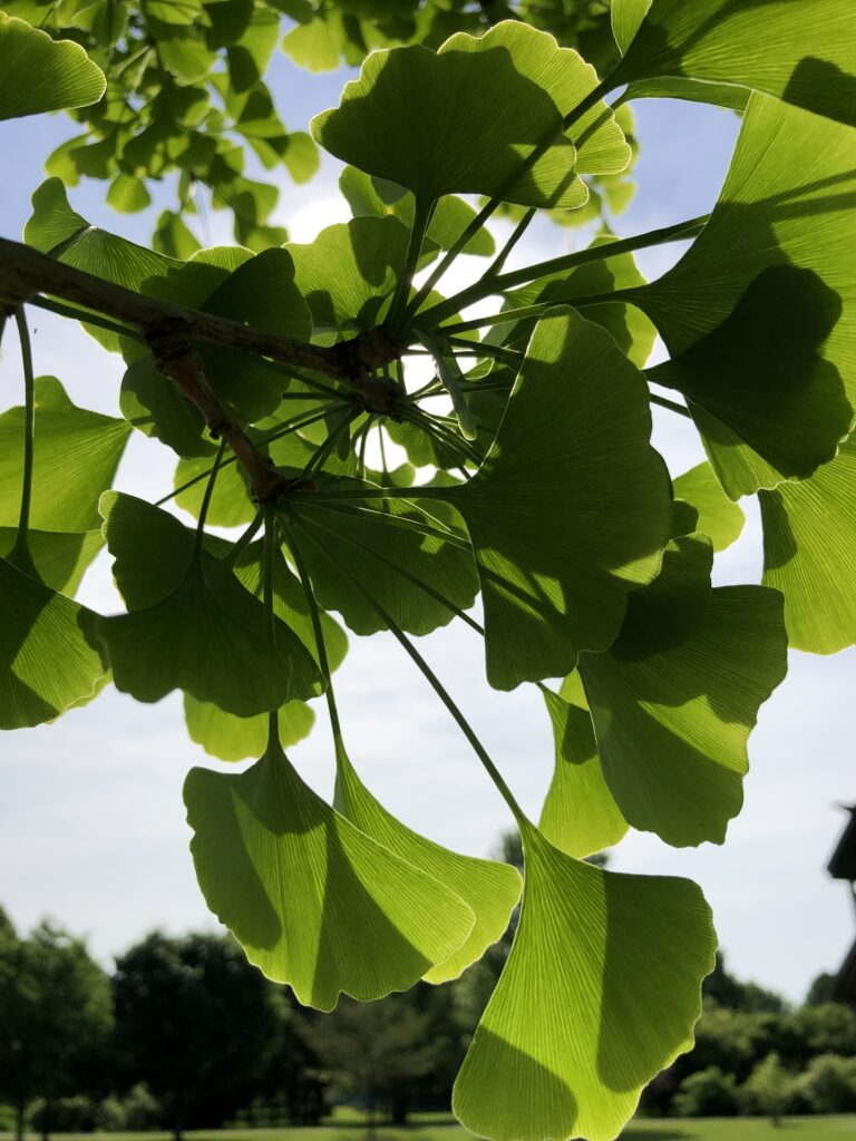 Ginkgo tree leaves- Photo by Melynda Van Zee